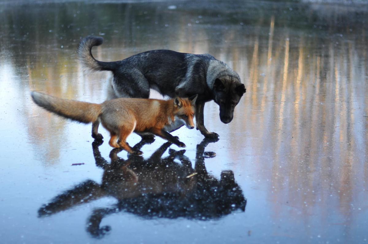 La amistad entre un perro y un zorro, protagonista del proyecto de Torgeir Berge