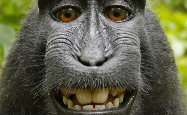 El selfie del macaco pone en jaque los derechos de autor